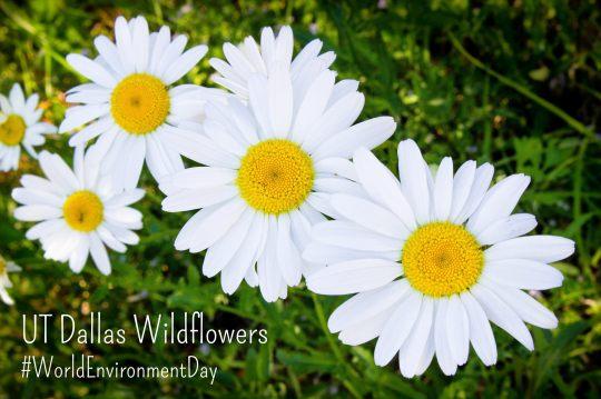 UT Dallas Wildflowers