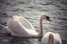 Swan in Lyon, France
